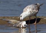 Conneaut Ohio Shore Birds