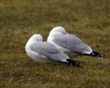 Twin Ring-Billed Gulls Resting
