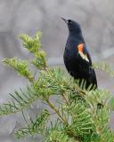 Red-Wing Black Bird Posing