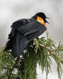 redwingblkbird16.jpg