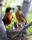 Robins Feeding Nestlings