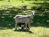Cute! Baby goats