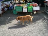 Shorty dog at the market