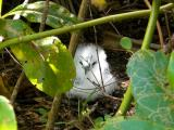 Rare baby red-tailed tropic-bird on Maina