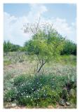 Mesquite w wildflowers, San Angelo