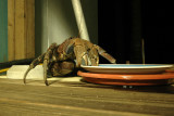 Coconut crab borrowing cat food