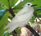 Baby Fairy Tern 1 a.k.a. Squirt