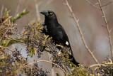 ARTAMIDAE: Woodswallows, Butcherbirds, Currawongs