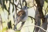 PACHYCEPHALIDAE: Whistlers & Shrike-tit & Shrike-thrush