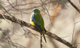 PSITTACIDAE: Parrots