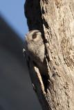STRIGIDAE: Owls