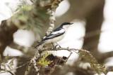 CAMPEPHAGIDAE: Cuckoo-Shrikes, Trillers