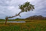Primeval Forest (Live Oaks)