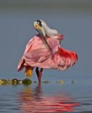 Spoonbills, Cranes, & Ibises