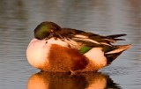 Northern Shoveler Sleeping with One Eye Open