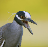 Yellow-Crowned Night Heron Squak