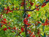 Red Berry Tree
