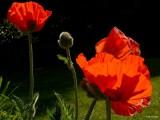 Poppy 2008
