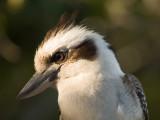 The Magnificent Kookaburra