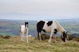 Ponies under Hay Bluff  10_DSC_1688