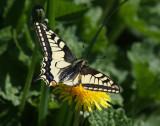 Vlinders en Libellen - Butterflies and Dragonflies