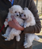P1000738 9 wk toy poodle puppies.jpg