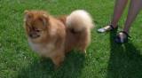 P1000747 Pomeranian.jpg