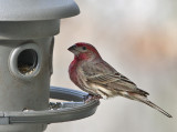 _MG_6953  House Finch?