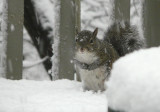 P1020278 Squirrel in Snow