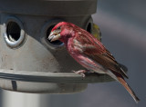 _MG_7412 Purple Finch.
