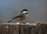 _MG_7676 chickadee