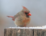 _MG_2802 Female Cardinal with 1.4X Tamron