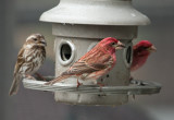 _MG_8044 Purple Finch