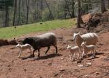 _MG_0068 Ewes and Lambs