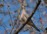 _MG_8488 Mourning Dove