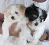 _MG_9280 Havanese Puppies