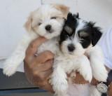_MG_9286 Havanese Puppies