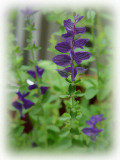 DSC02983 Purple Salvia