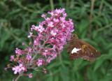 DSCF6042 Silver Spotted Skipper on Butterfly Bush