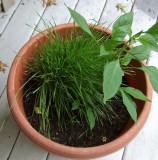 DSCF6220 Wheat Grass