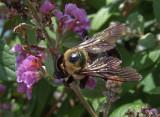 DSCF6234 Large Bee on Buddleia