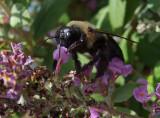 DSCF6235 Bee on Butterfly Bush (Buddleia)