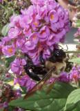 DSCF6242 Bee under Buddleia Blossom