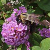 DSCF6243 Very Busy Bee
