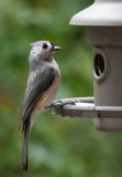 _MG_0322 Titmouse