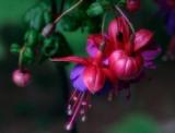_MG_0011 Fuchsia