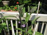 IMG_7068 Leggy Eggplant