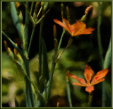 _MG_0968 Blackberry Lilies (Belamcanda)