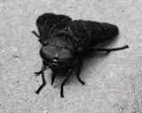 _MG_1747 Horsefly