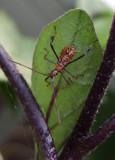 DSCF6988 Leaf Footed Bug